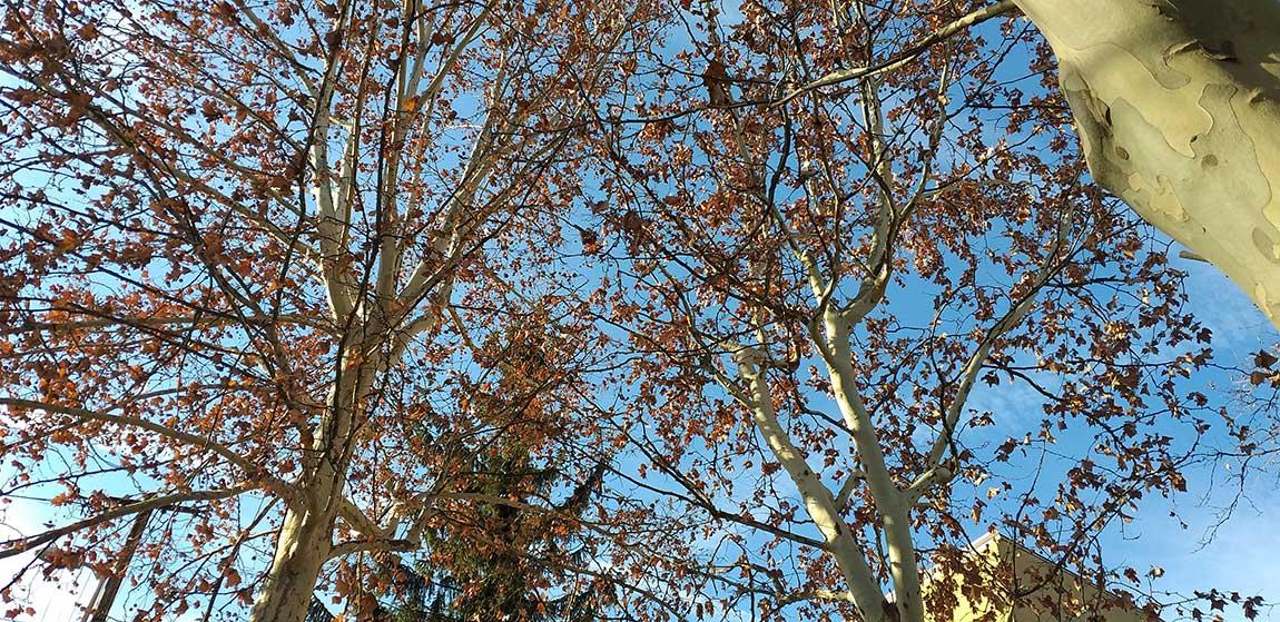 Városi fák alakító metszése
